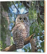 Barred Owl And Holly Wood Print