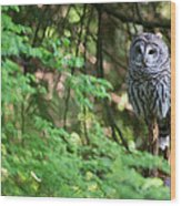 Barred Owl In Forest Wood Print