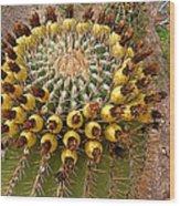 Barrel Cactus Bearing Fruit At El Mirador Rv Resort In San Carlos-sonora-mexico Wood Print