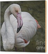 Bashful And Shy Flamingo. Wood Print