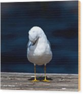 Bashful Seagull  Wood Print
