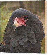Bateleur Eagle Zimbabwe Wood Print