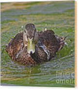 Bathing Black Duck Wood Print