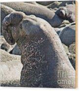 Bull Elephant Seal Battle Scars Wood Print