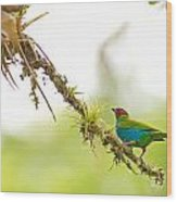 Bay-headed Tanager Wood Print