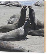 Beachmasters - Elephant Seals Wood Print