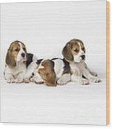 Beagle Puppies, Row Of Three, Second Wood Print