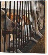 Beagles At Stowe Two Wood Print