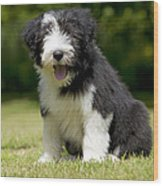 Bearded Collie Puppy Wood Print