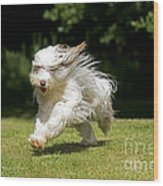 Bearded Collie Running Wood Print