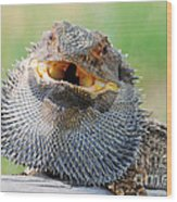 Bearded Dragon In Defense Mode Wood Print by Christopher Edmunds