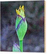 Bearded Iris Bud  Wood Print