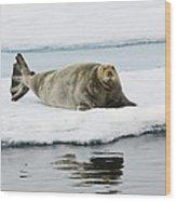 Bearded Seal On Ice Floe Norway Wood Print