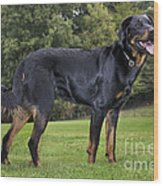 Beauceron Dog Wood Print