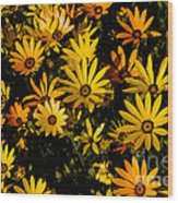 Beautiful African Daisies Wood Print