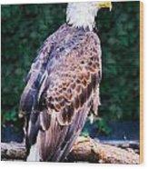 Beautiful Bald Eagle Wood Print by Jason Brow