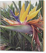 Beautiful Bird Of Paradise  Wood Print