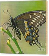 Beautiful Black Swallowtail Wood Print