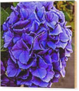 Beautiful Blue Hydrangea Wood Print