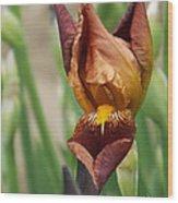 Beautiful Brown Bearded Iris Wood Print