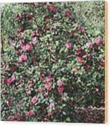 Beautiful Camellia Bush Wood Print