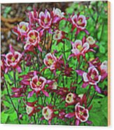 Beautiful Columbine   Wood Print