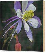 Beautiful Columbine Wood Print