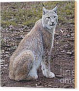 Beautiful Lynx Wood Print
