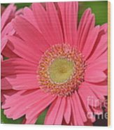 Beautiful Pink Gerber Daisies Wood Print