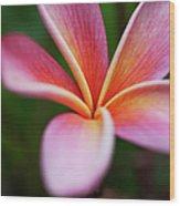 Beautiful Pink Plumeria Blossom Wood Print