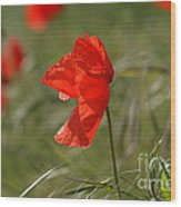 Beautiful Poppies 5 Wood Print