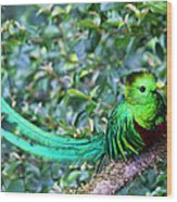 Beautiful Quetzal 3 Wood Print