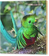 Beautiful Quetzal 5 Wood Print