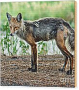 Beautiful Red Fox Wood Print
