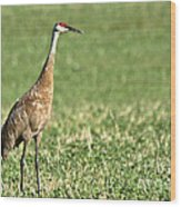 Beautiful Sandhill Crane Wood Print