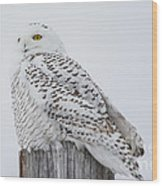 Beautiful Snowy Owl Wood Print