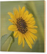 Beautiful Sunflower Wood Print