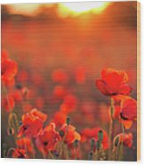 Beautiful Sunset Over Poppy Field Wood Print