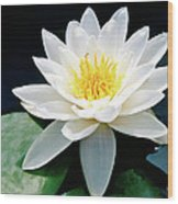 Beautiful Water Lily Capture Wood Print