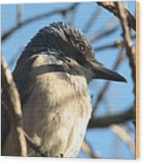 Beautiful Western Scrub Jay Wood Print