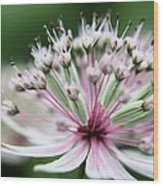 Beautiful White And Pink Buds Wood Print