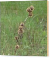 Prickly Histle Beauty Among The Grasses Wood Print