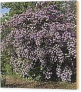 Beauty Bush (kolkwitzia Amabilis) Wood Print