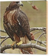 Beauty In Nature Red Tailed Hawk In The Spring  Wood Print by Inspired Nature Photography Fine Art Photography