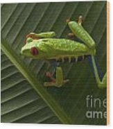 Beauty Of Tree Frogs Costa Rica 8 Wood Print