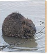 Beaver Chewing On Twig Wood Print