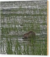 Beaver On Rest Lake Wood Print by Lizbeth Bostrom