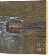 Beaver Swimming Wood Print