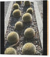 Bed Of Barrel Cacti  Wood Print