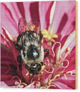 Bee Close Up On Pinkish Red Flower Wood Print
